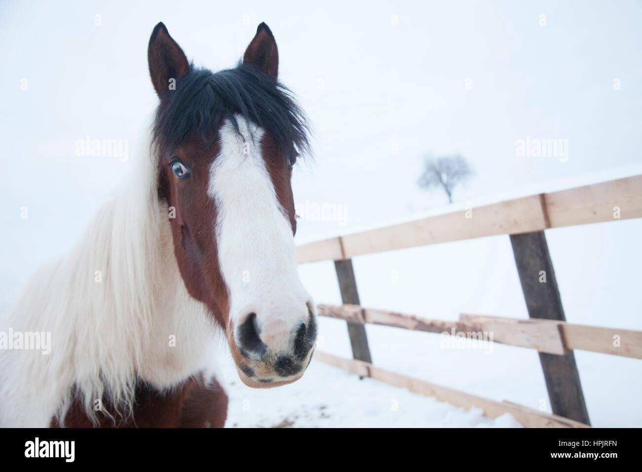 Lackierten Amerikanischen Pferd Mit Braun Blaue Augen Und