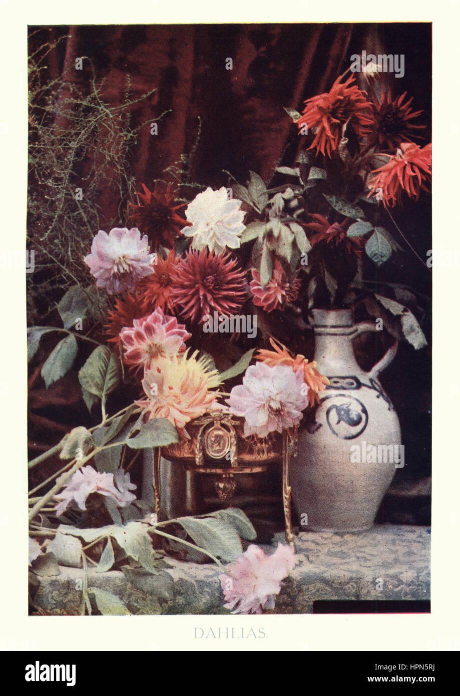 Edwardian Stillleben von Dahlien, 1913 Stockbild