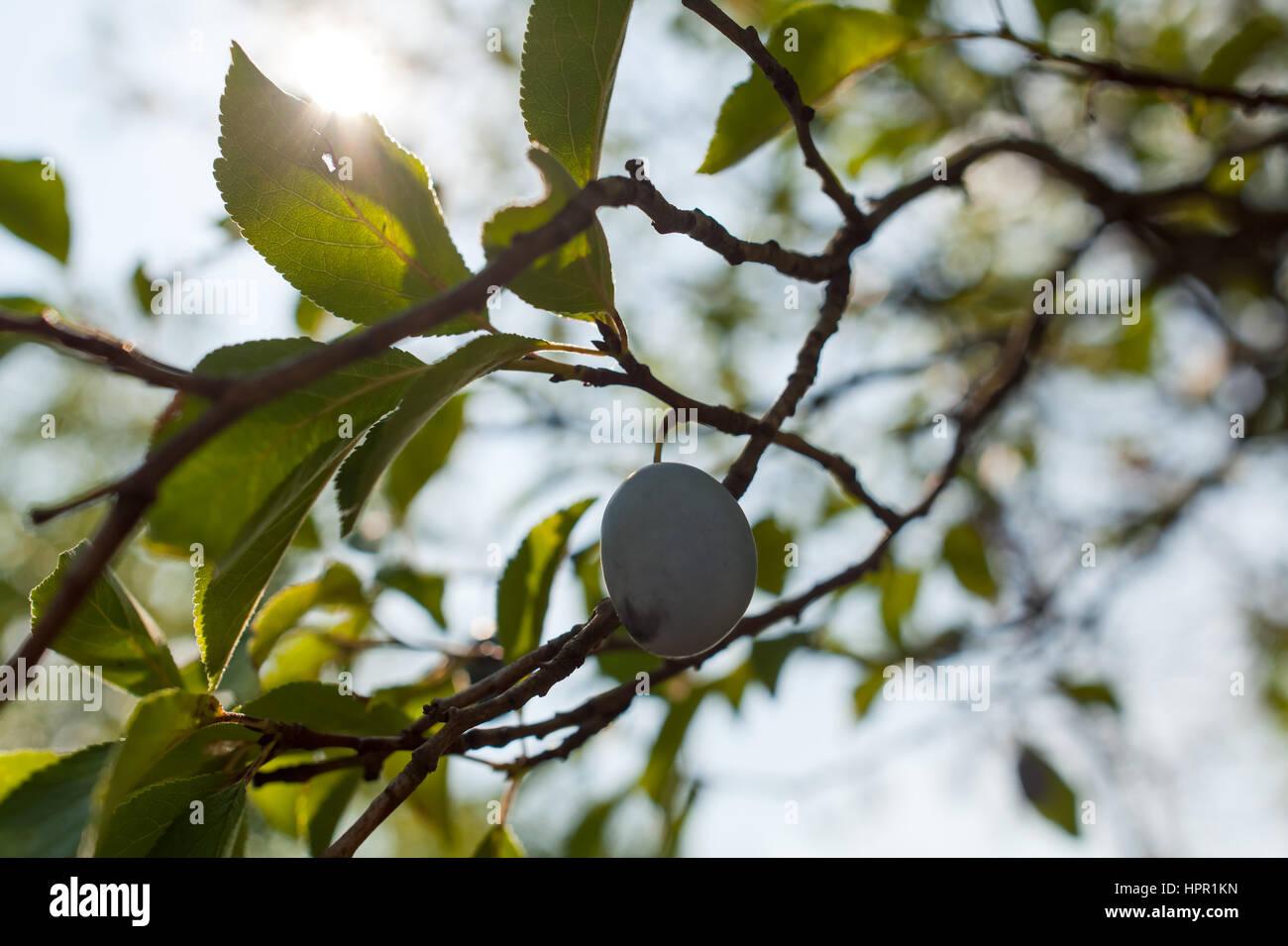 Frische reife blauen Pflaumen am Baum Stockfoto