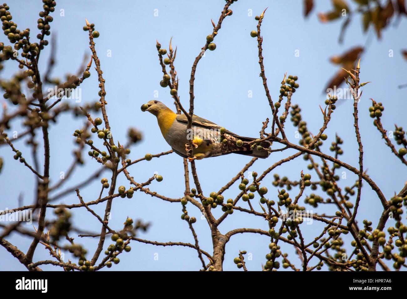 Gelbe footed grüne Taube thront im Obstbaum mit Früchten in Rechnung Assam Indien Stockbild