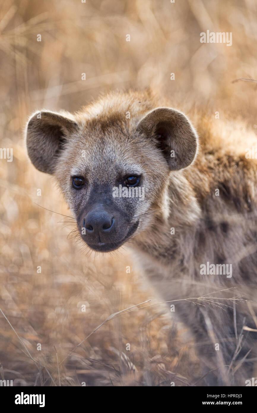 Gefleckte Hyänen sind unter den prominenten Wildtieren der Krüger Nationalpark, Südafrika. Stockbild