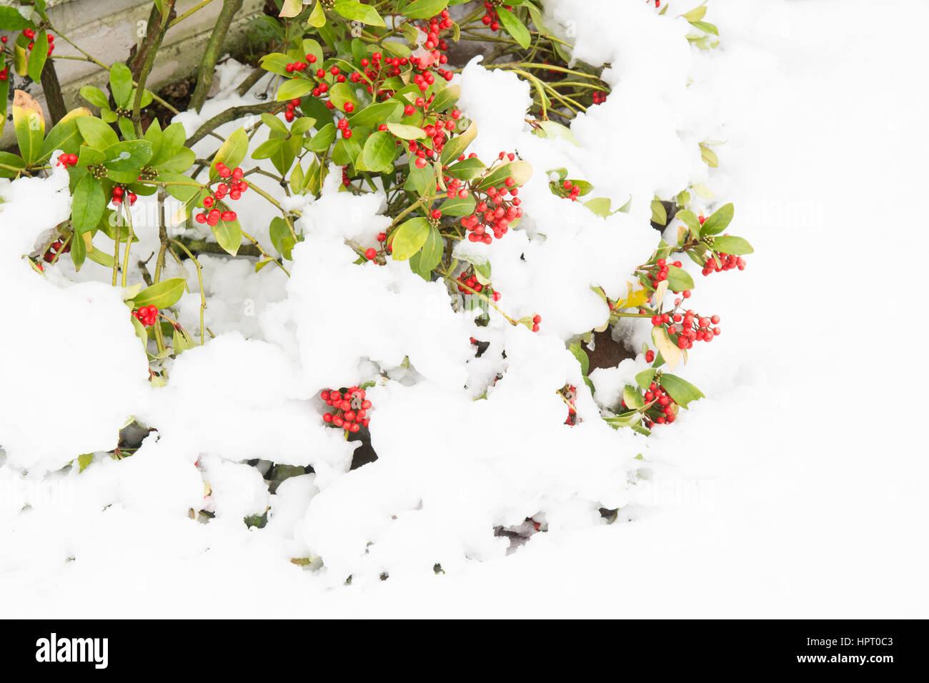 Garten Strauch Skimmia Japonica abgedeckt und durch tiefen Schnee abgeflacht Stockbild