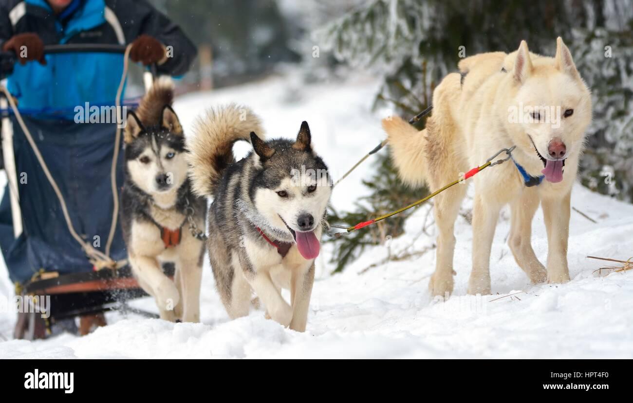 Klettergurt Für Hunde : Rennen der entwurf hunde stockfoto bild alamy