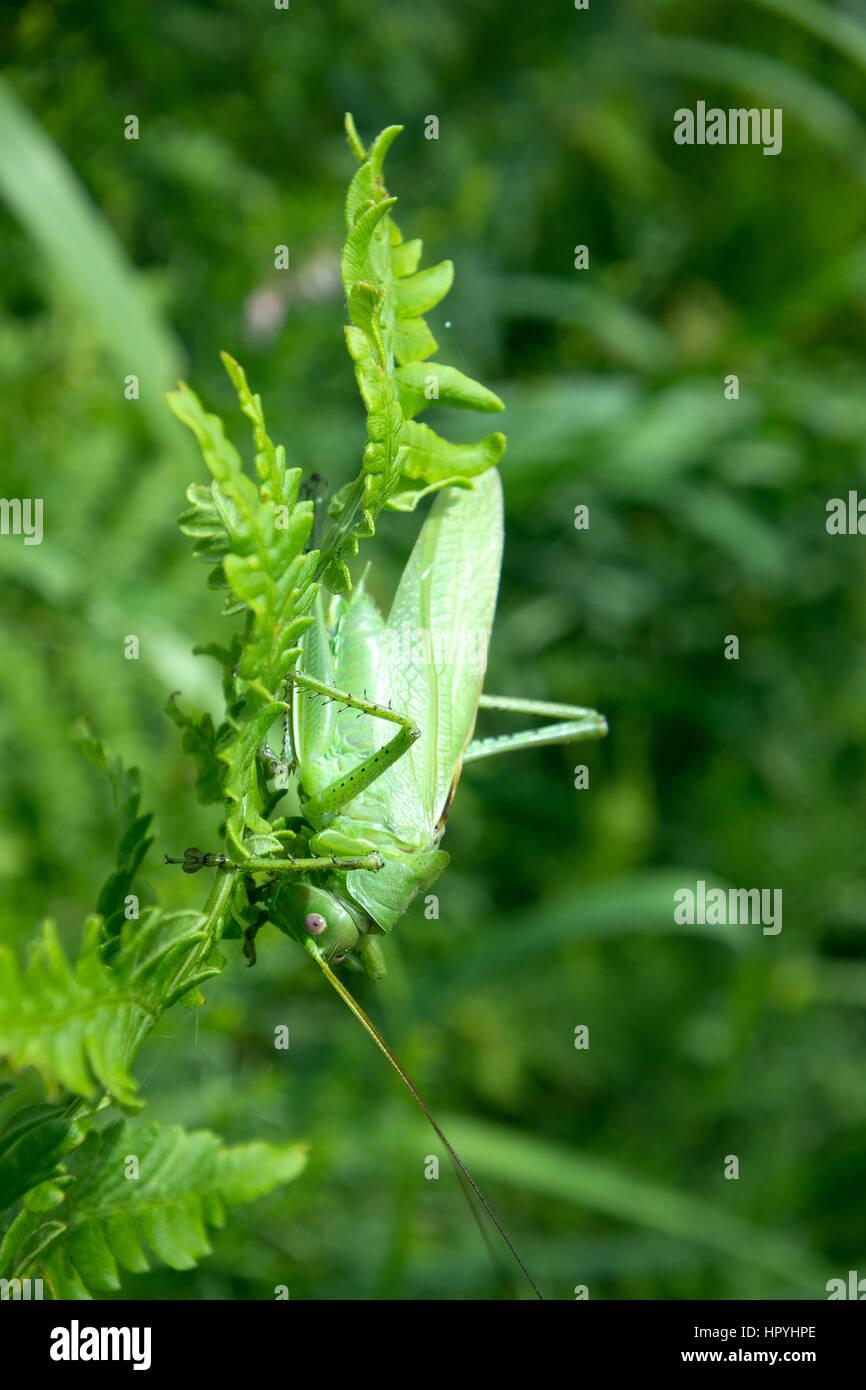 Big Green Bush-Cricket (Tettigonia Viridissima) in der Natur. Heuschrecke traf in Bergen an einem grünen Stiel Stockbild
