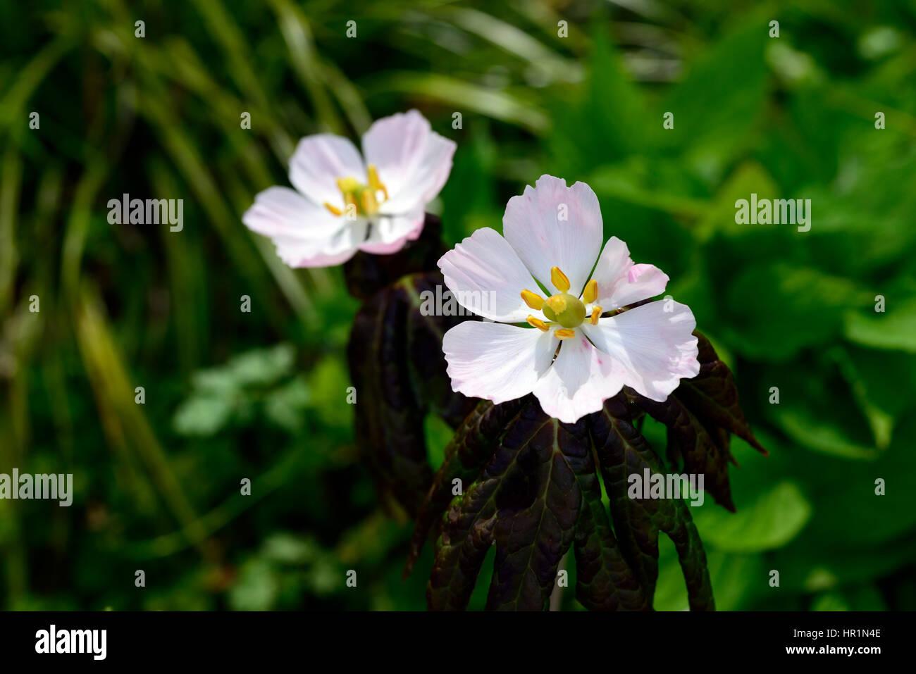Wunderbar Blumen Mai Das Beste Von Podophyllum Hexandrum, Himalaya Apfel, Sinopodophyllum, Blume, Blumen,