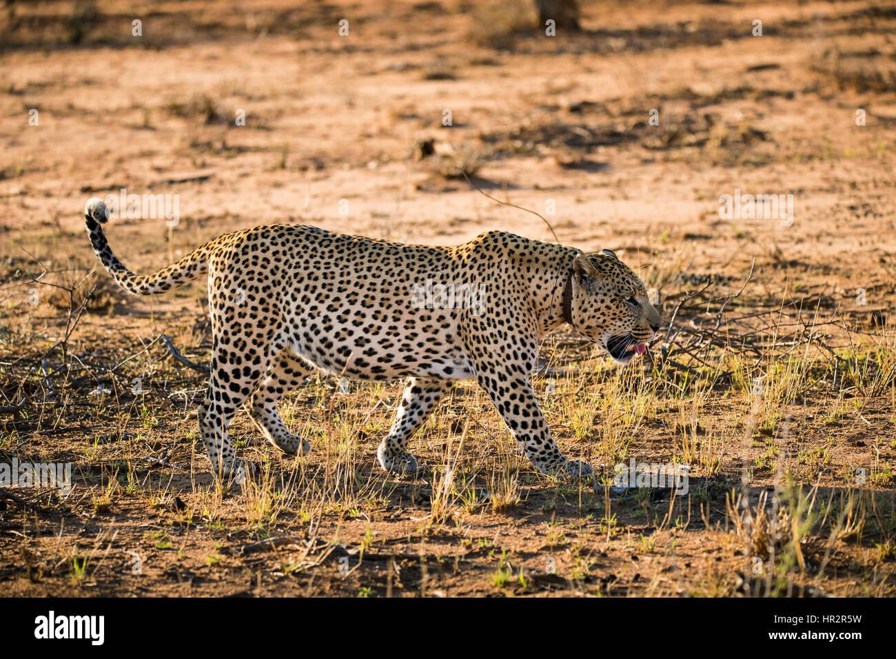 Leopard tragen Tracking collar, Panthera Pardus, Okonjima, Namibia, Afrika, von Monika Hrdinova/Dembinsky Foto Assoc Stockfoto