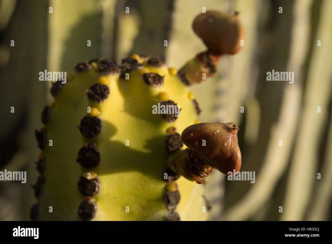 Canarie-Wolfsmilch, Euphorbia Canariensis, Euphorbiaceae, Teneriffa Süd, Kanarische Inseln, Spanien, Europa Stockbild