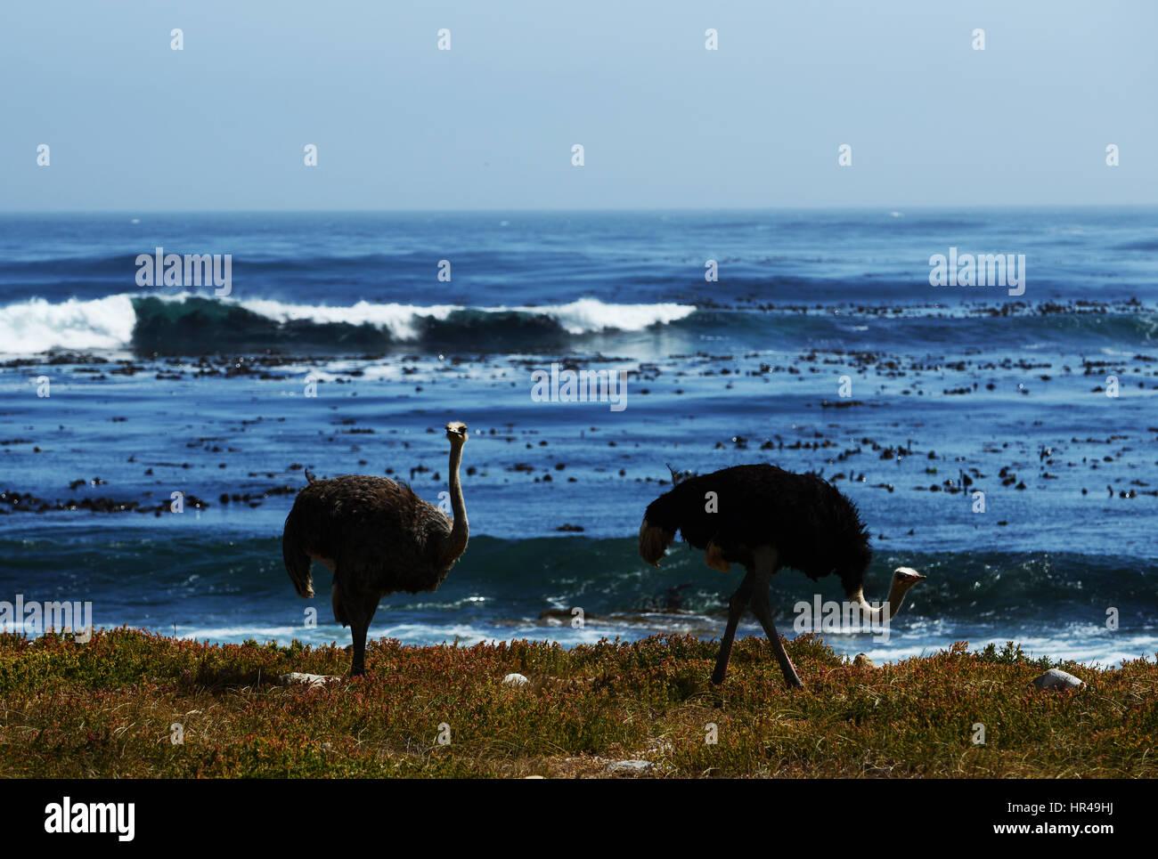 Afrikanische Strauße (Struthio Camelus) auf Nahrungssuche am Strand in der Nähe von Kap der guten Hoffnung, Stockbild