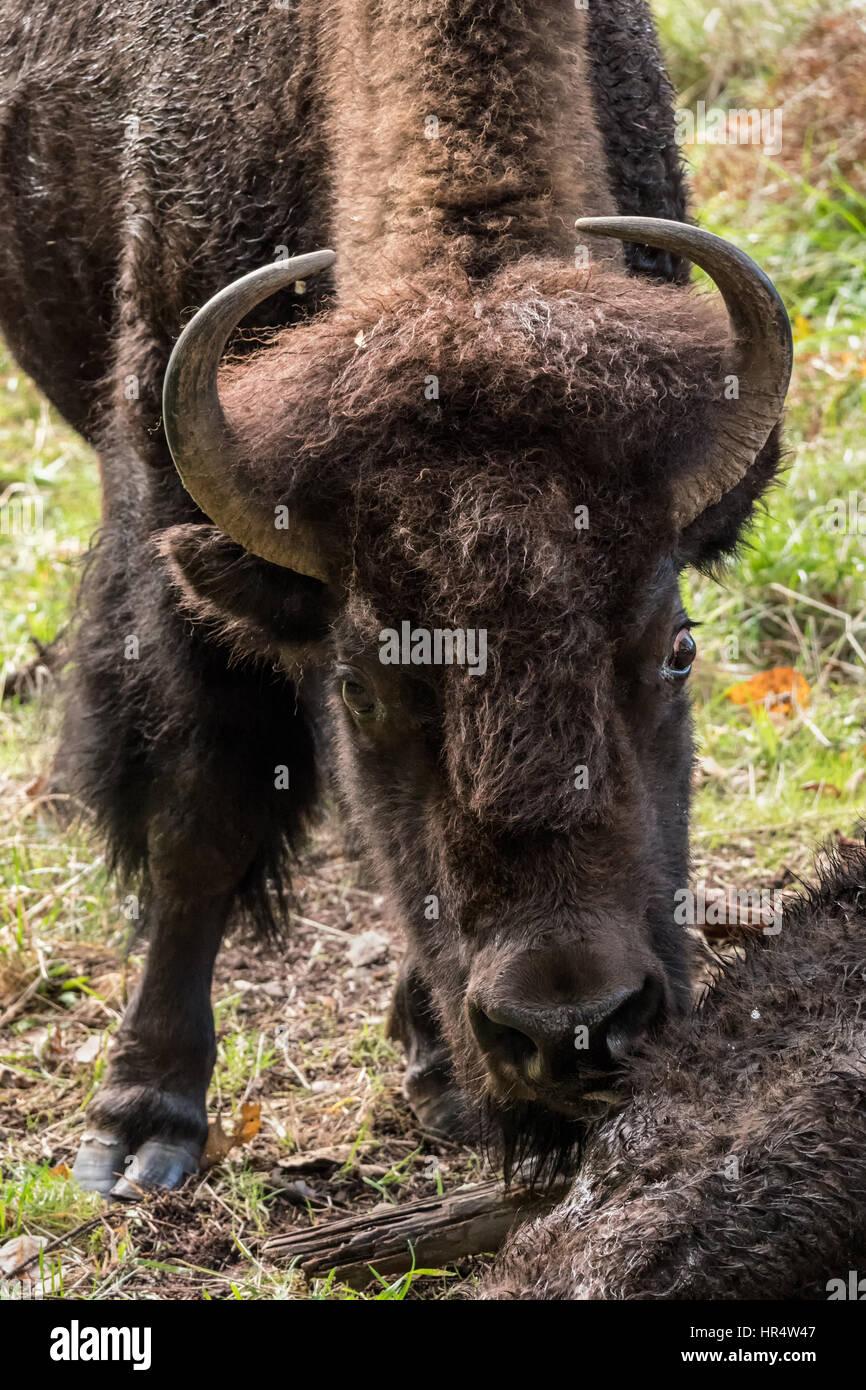 American bison stockfotos american bison bilder alamy for Wildparks in der nahe