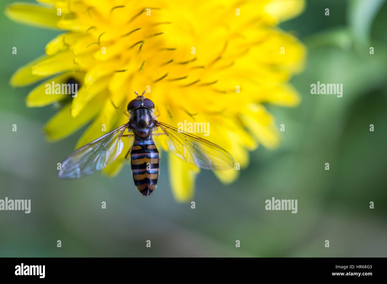 Makro-Ansicht der Biene auf Blüte Stockbild
