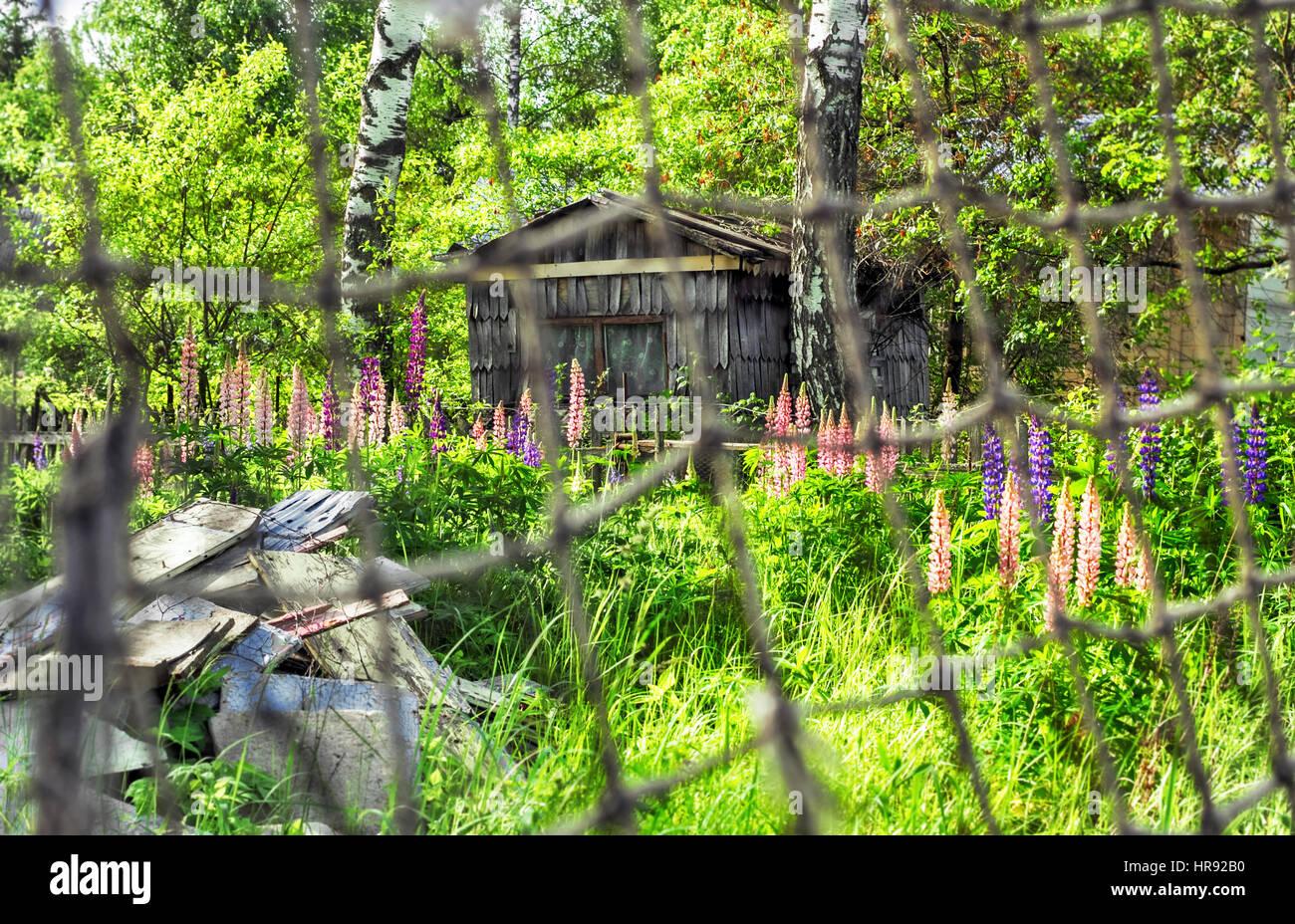 Verlassenes Haus mit Lupinen in sonnigen Sommertag Stockbild