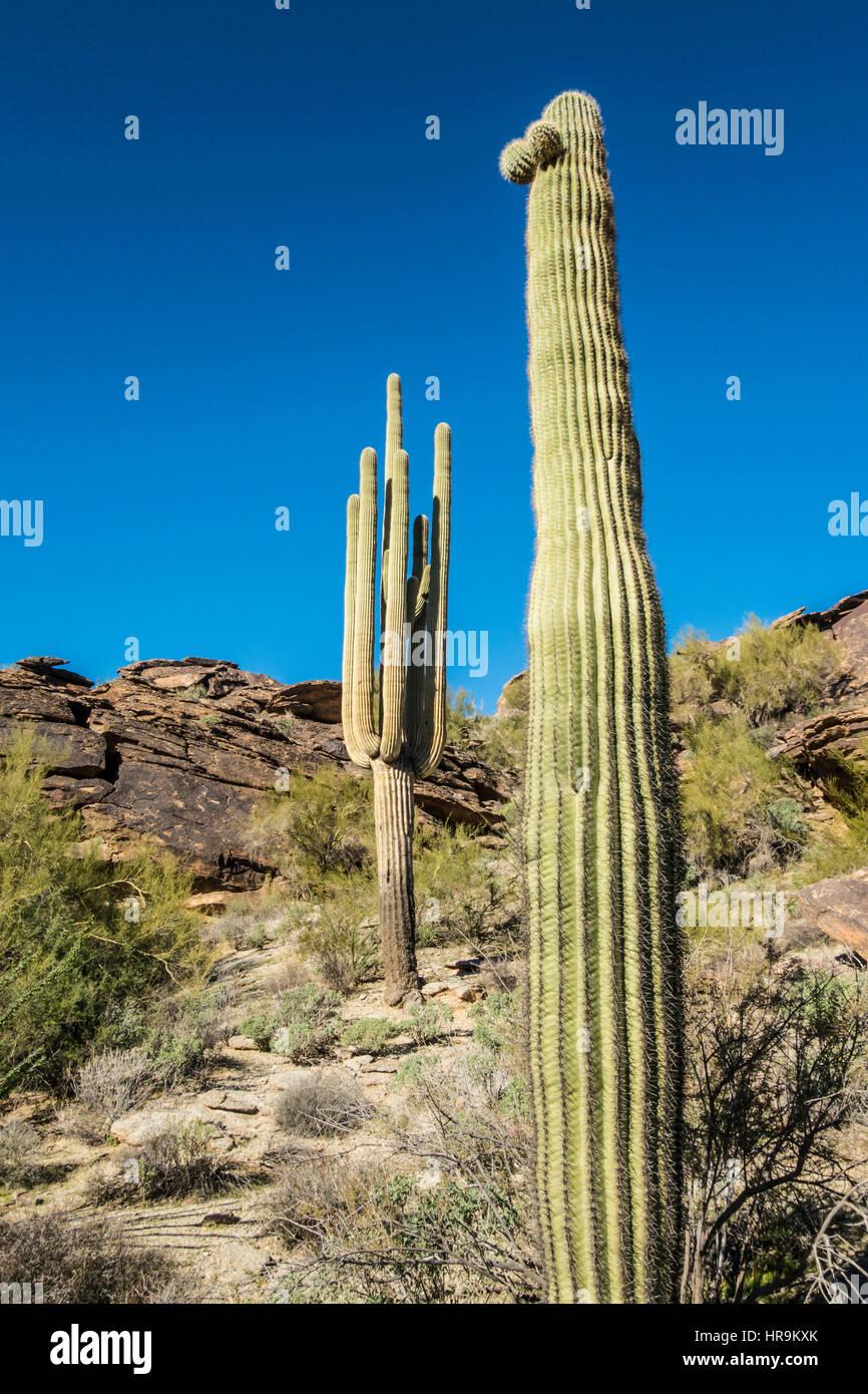 Saguaro-Kaktus in South Mountain Park. Phoenix, Arizona. Stockfoto