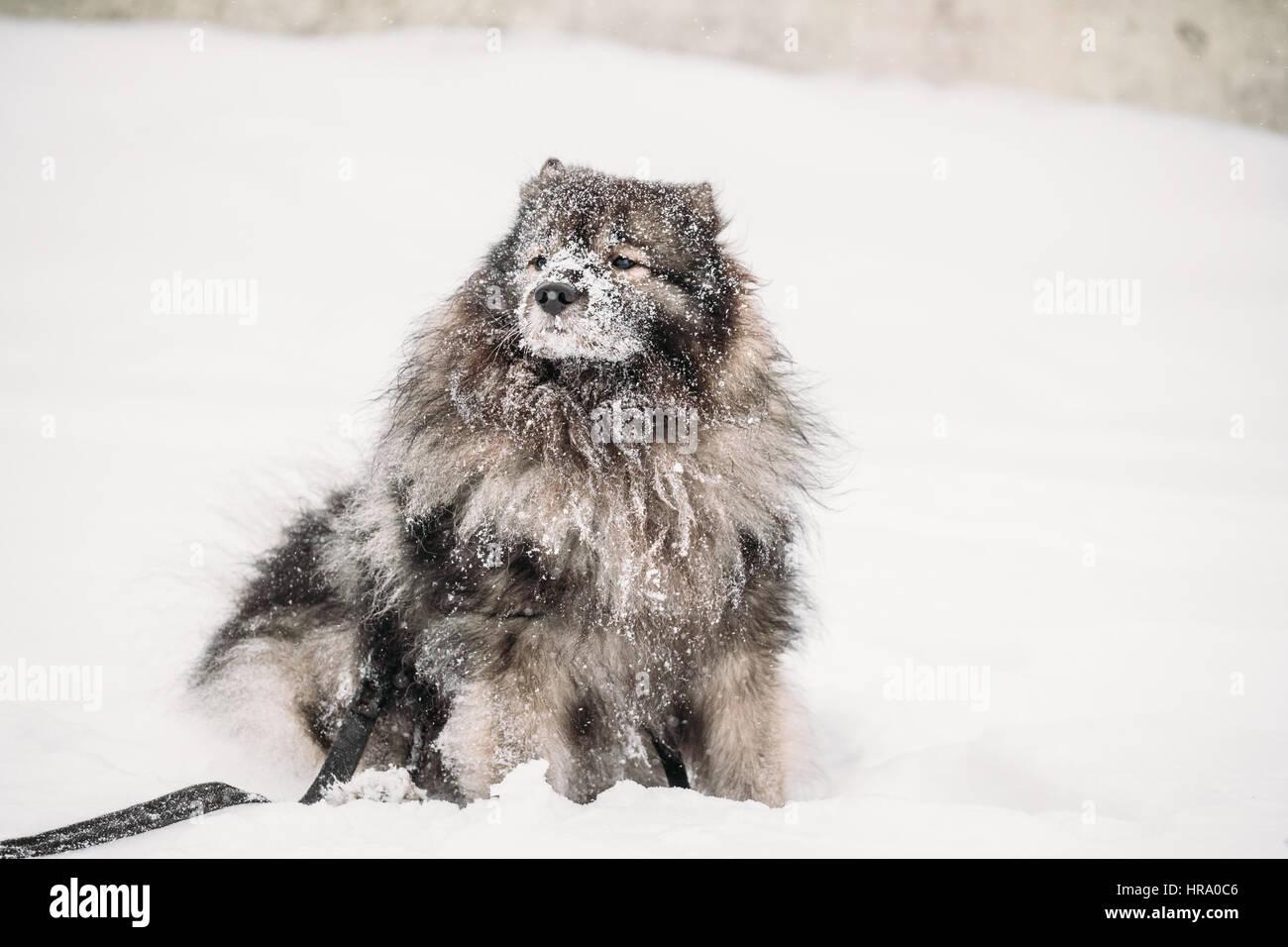 lustige keeshond hund spielen im freien im schnee winter saison hundetraining im freien. Black Bedroom Furniture Sets. Home Design Ideas