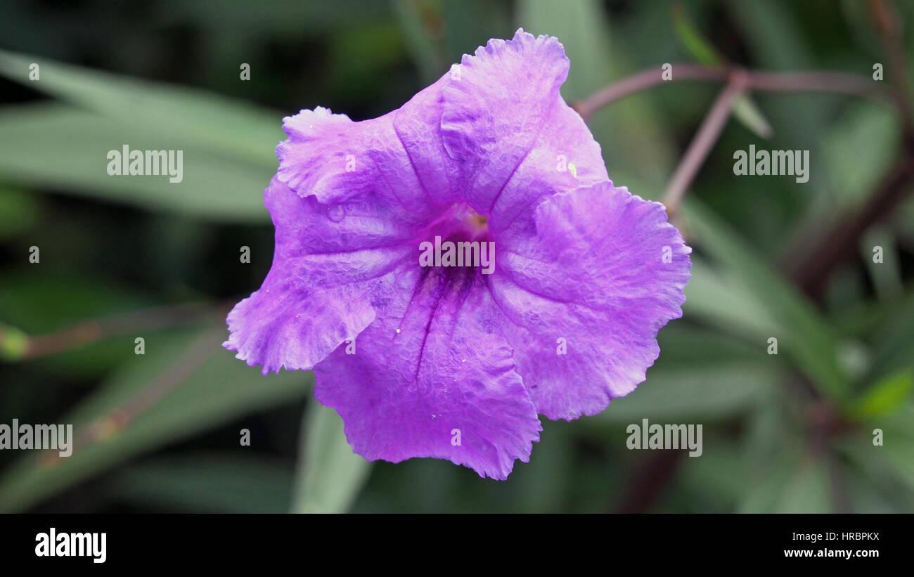 Eine schöne Blume, die wächst in der Dominikanischen republik Stockfoto