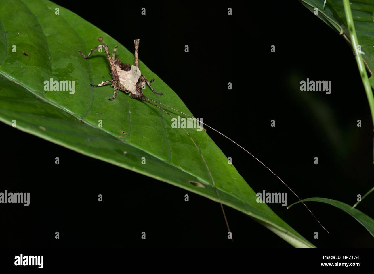 Einen Toten-Blatt mimischen Grashuepfer (Typophyllum SP.) auf einem Blatt im Amazonas-Regenwald in der Nacht in Stockbild