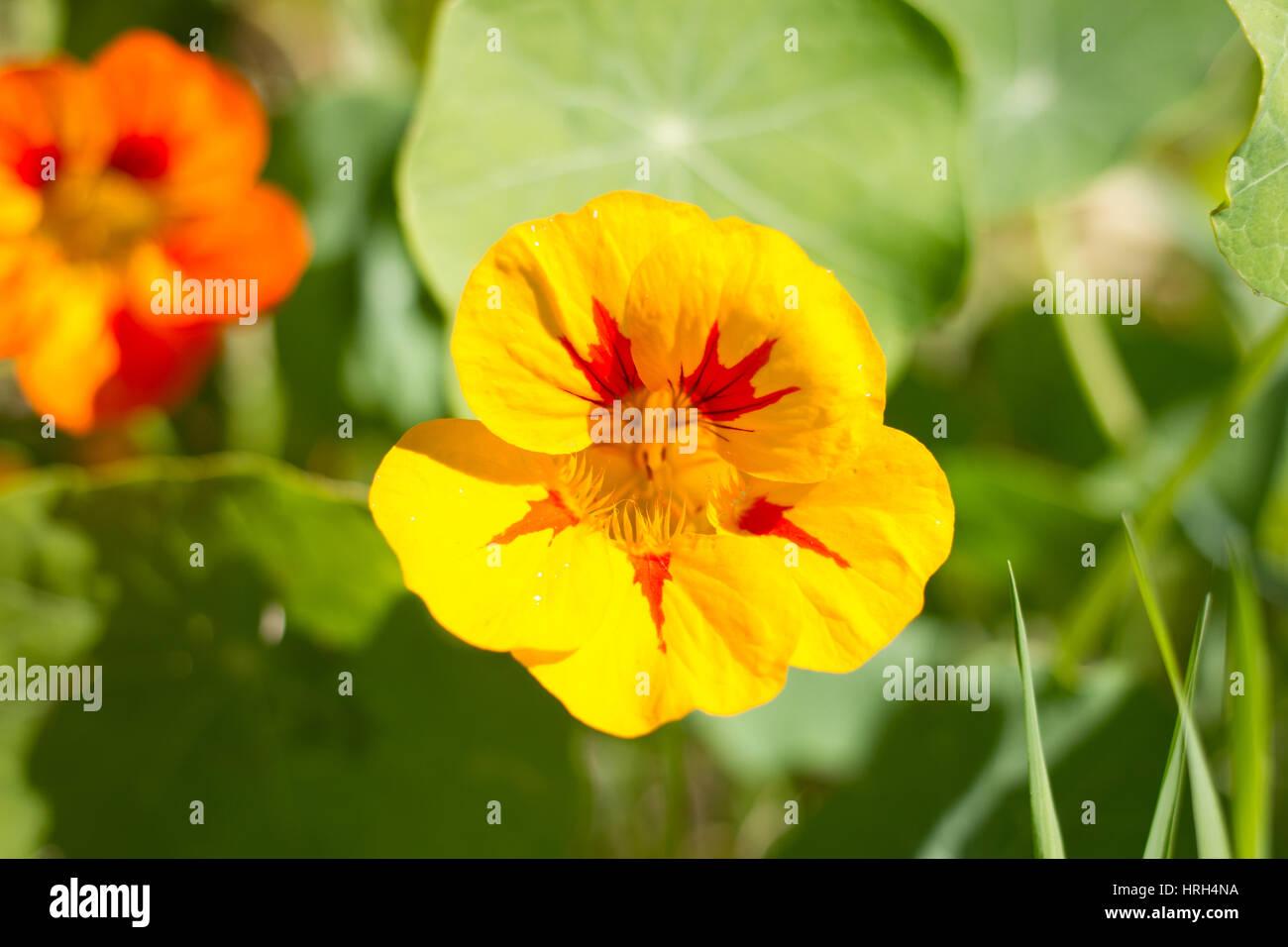 Gemeinsame Schöne Blume Kapuzinerkresse Blätter im Garten auf der Insel #RW_62