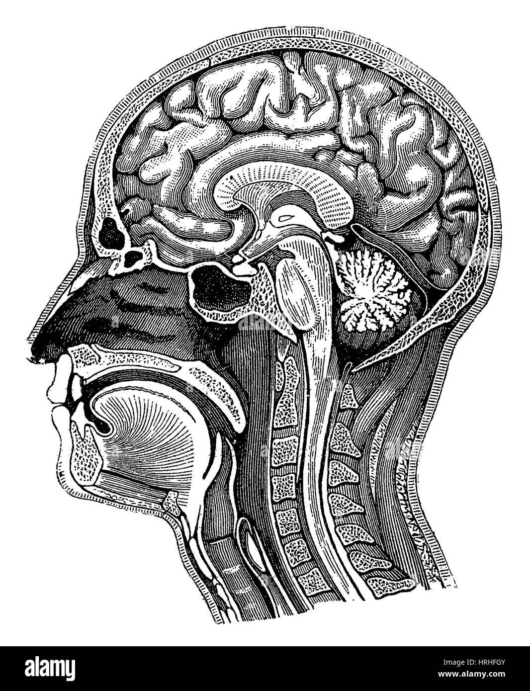 Kopf und Gehirn-Anatomie Stockfoto, Bild: 134995083 - Alamy