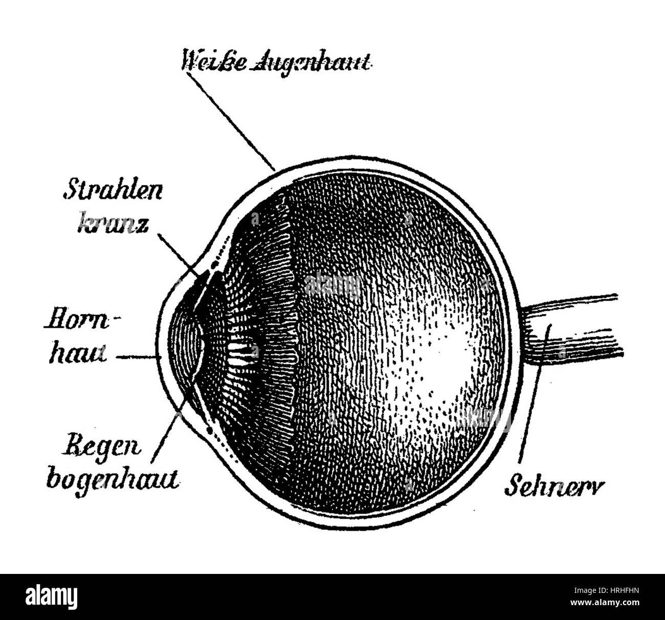 Großzügig Auge äußere Anatomie Galerie - Anatomie Von Menschlichen ...