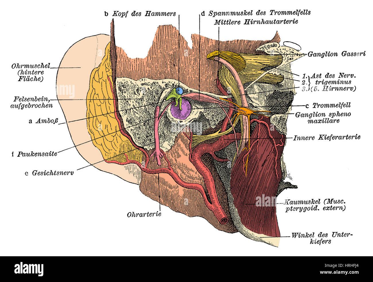 Atemberaubend Menschliche Ohr Anatomie Quiz Bilder - Menschliche ...