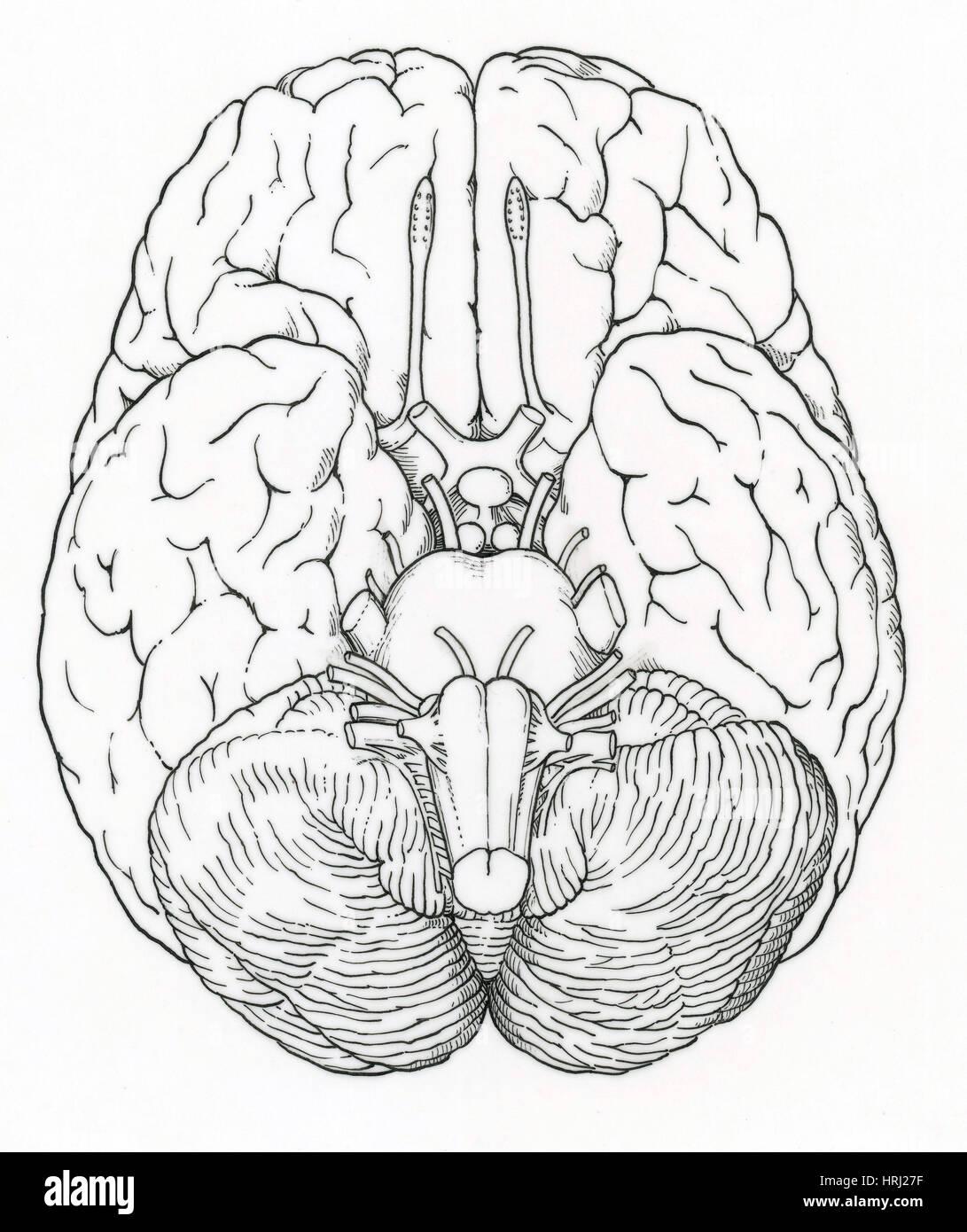 Großartig Siebter Hirnnerv Anatomie Fotos - Menschliche Anatomie ...