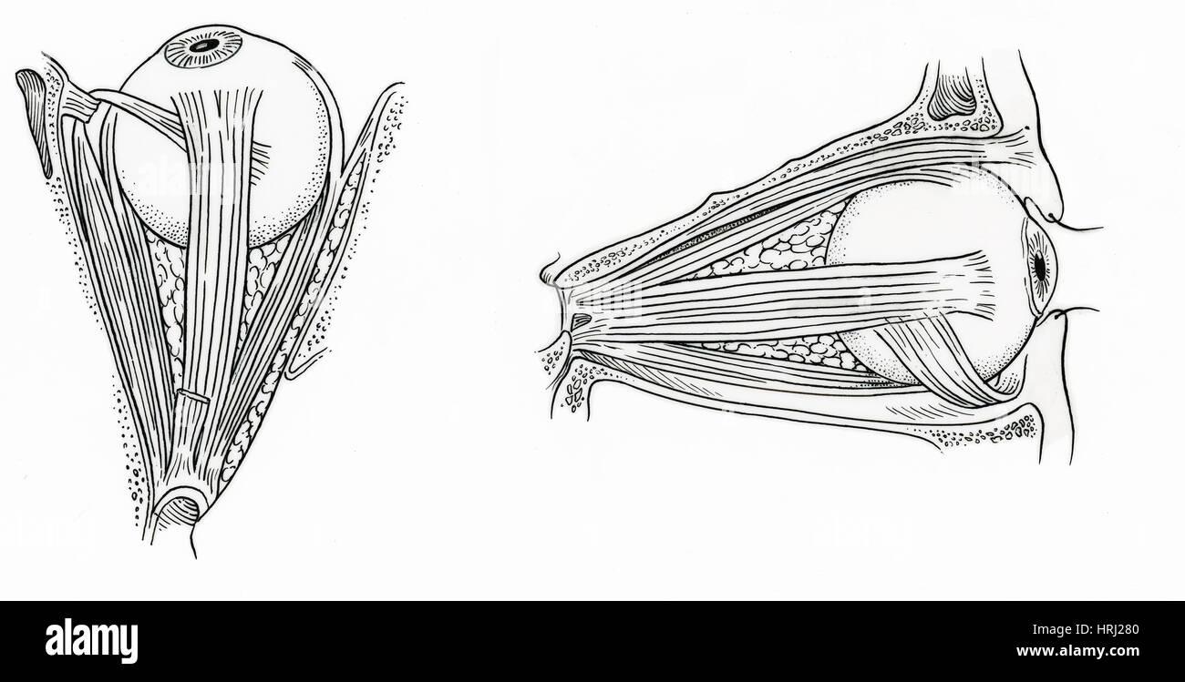 Illustration der Augenmuskeln Stockfoto, Bild: 135006592 - Alamy
