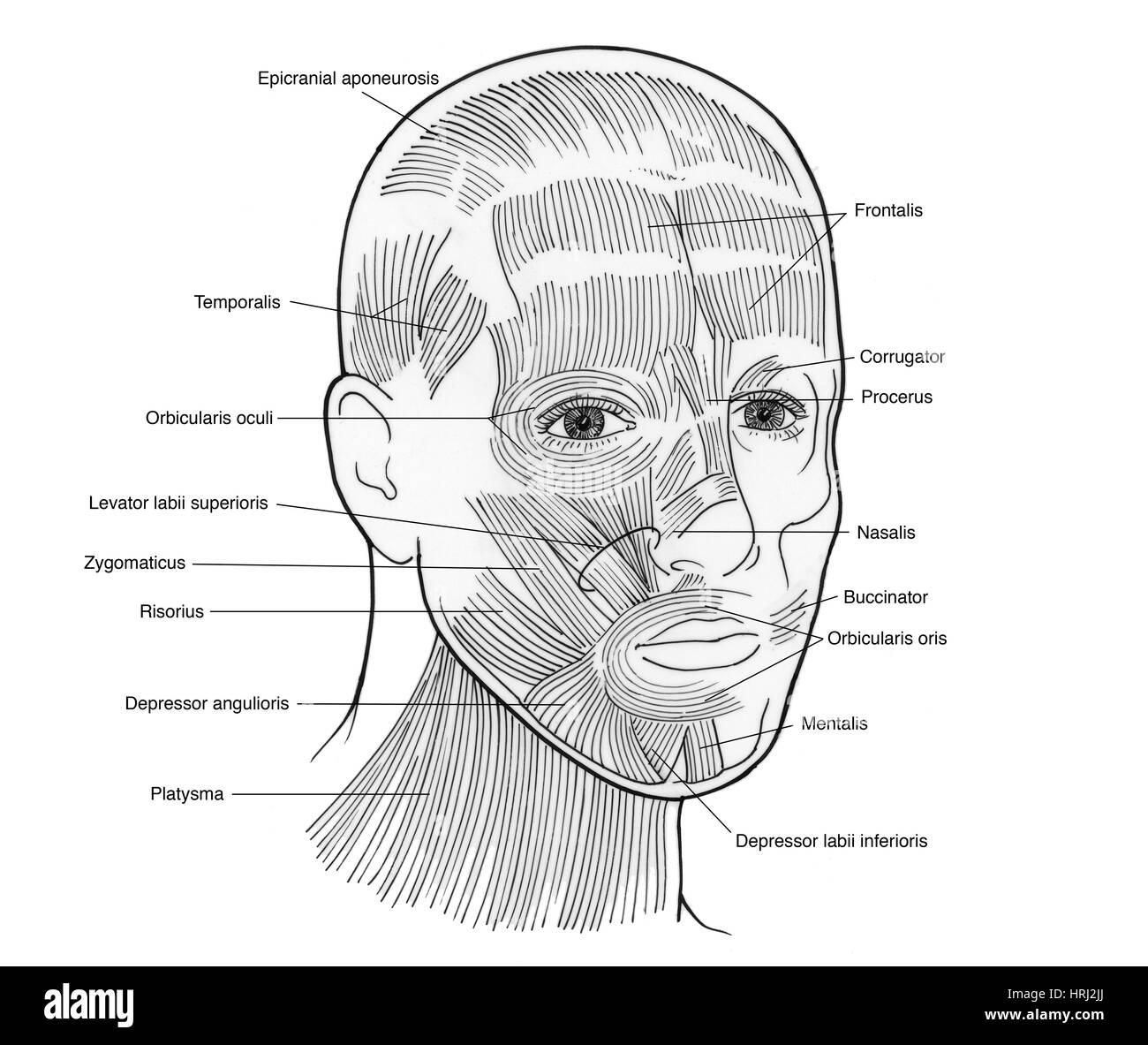 Nasalis Muscle Stockfotos & Nasalis Muscle Bilder - Alamy