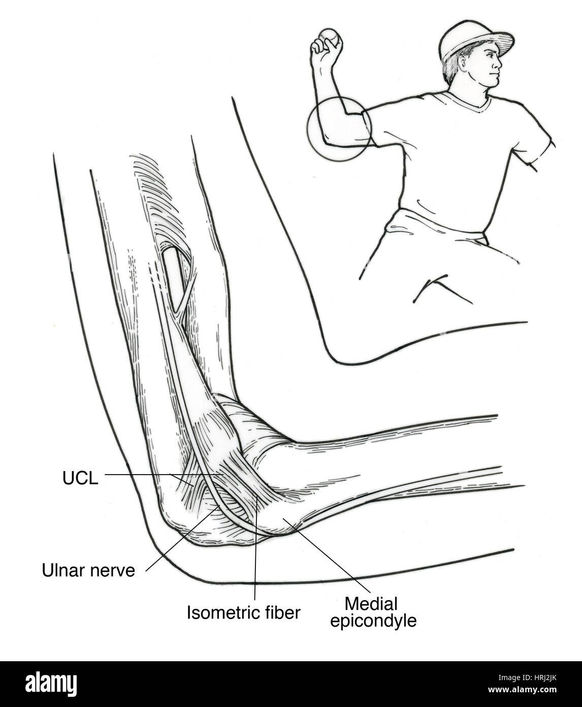 Berühmt Ellenbogen Anatomie Knochen Fotos - Menschliche Anatomie ...