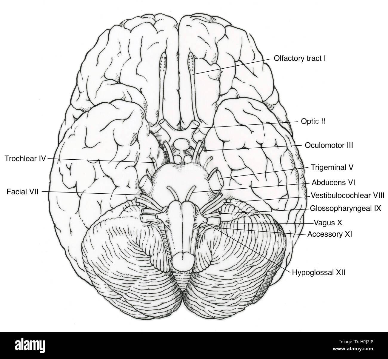 Großzügig Hirnnerven X Zeitgenössisch - Menschliche Anatomie Bilder ...