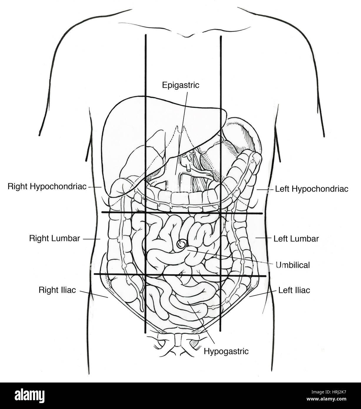 Fantastisch Regionen Des Bauches Anatomie Zeitgenössisch ...