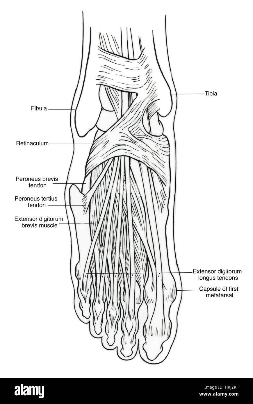 Darstellung der Anatomie des Fußes Stockfoto, Bild: 135006915 - Alamy
