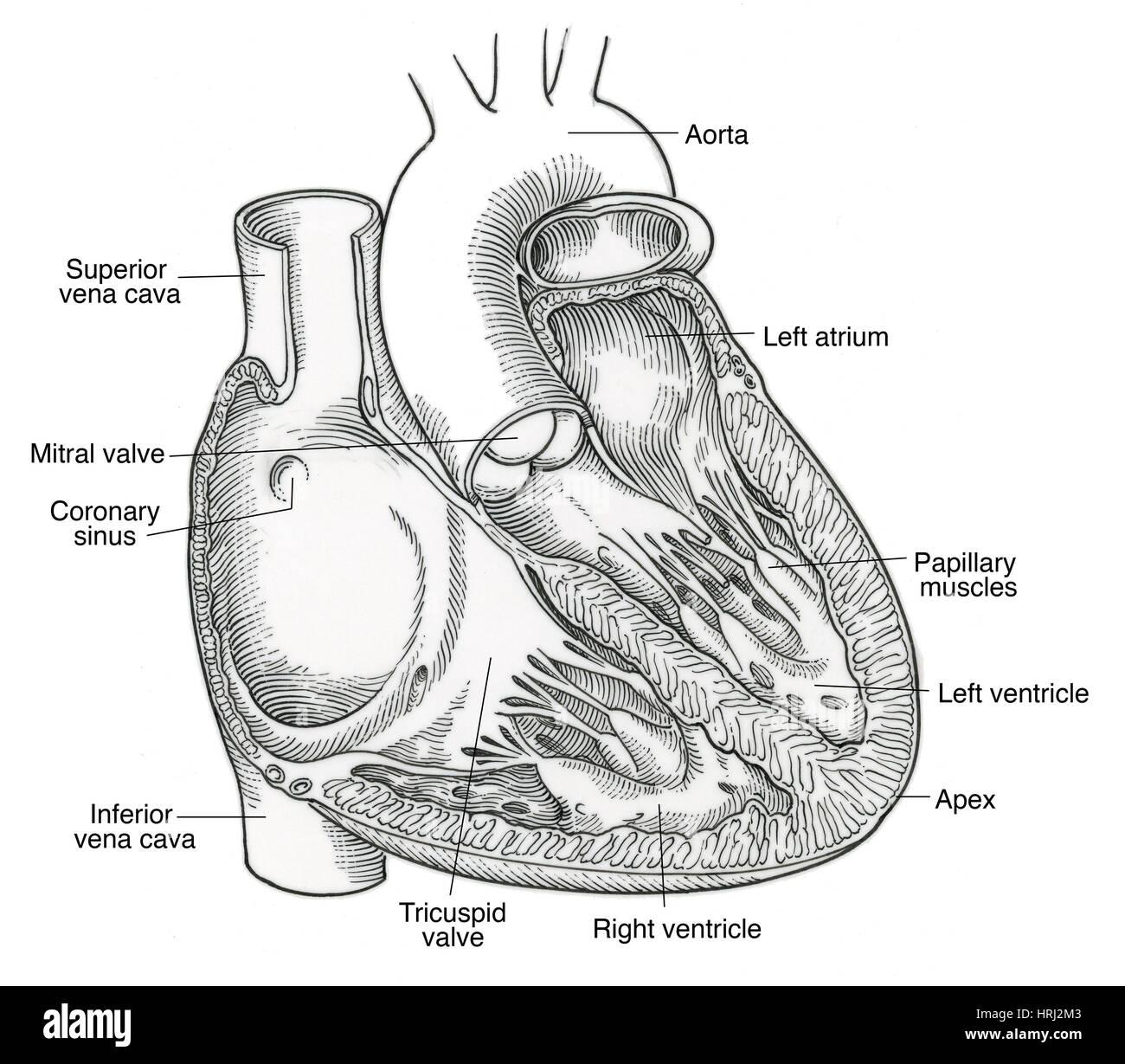 Fein Frosch Herzanatomie Fotos - Physiologie Von Menschlichen ...
