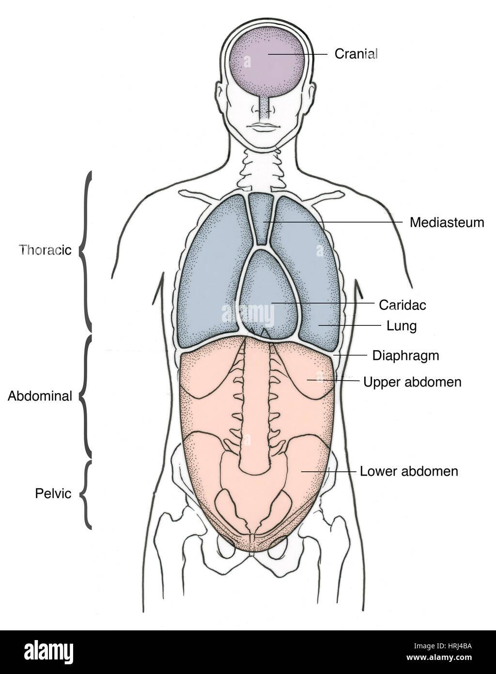 Darstellung der anterioren Körperhöhlen Stockfoto, Bild: 135008254 ...