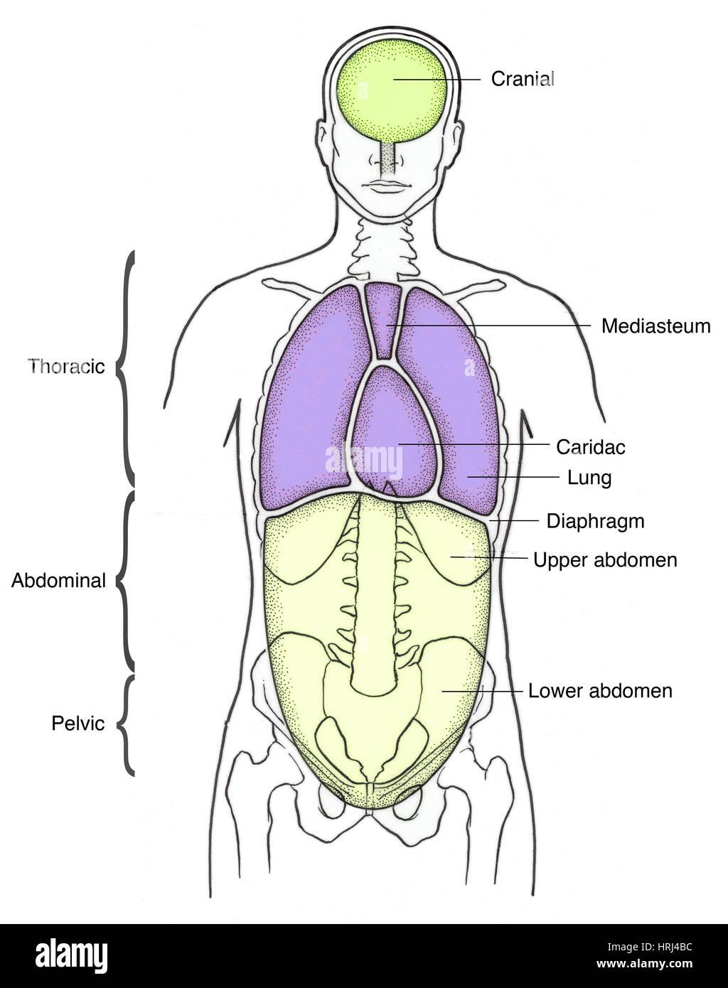 Darstellung der anterioren Körperhöhlen Stockfoto, Bild: 135008256 ...