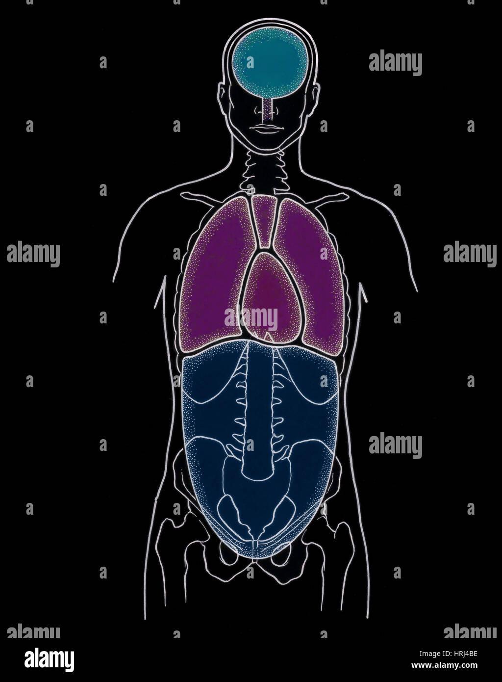 Darstellung der anterioren Körperhöhlen Stockfoto, Bild: 135008258 ...