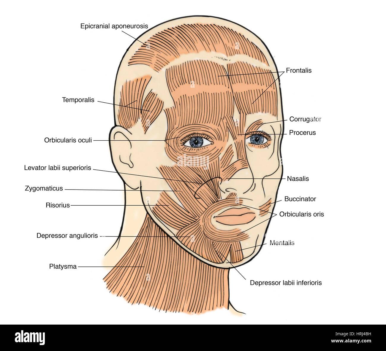 Abbildung der Gesichtsmuskeln Stockfoto, Bild: 135008261 - Alamy