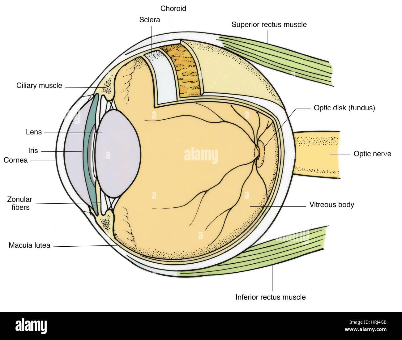 Darstellung der Anatomie des Auges Stockfoto, Bild: 135008395 - Alamy
