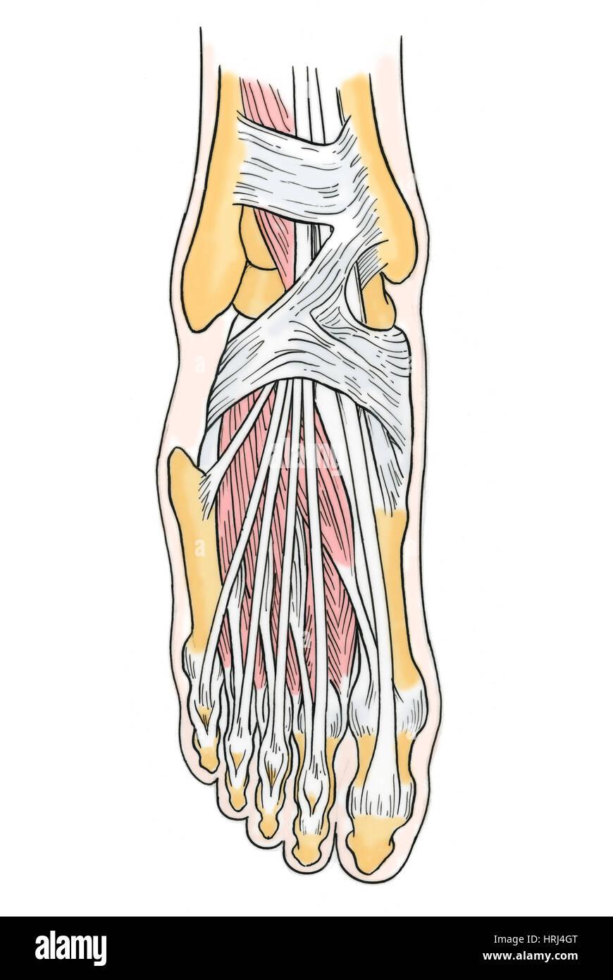 Ziemlich Skelett Anatomie Des Fußes Galerie - Menschliche Anatomie ...