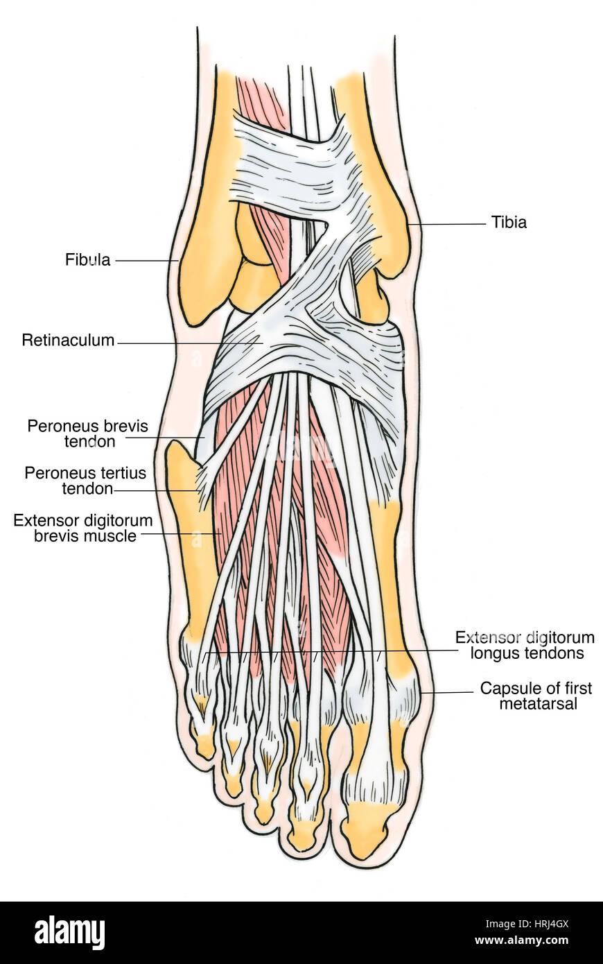 Darstellung der Anatomie des Fußes Stockfoto, Bild: 135008410 - Alamy