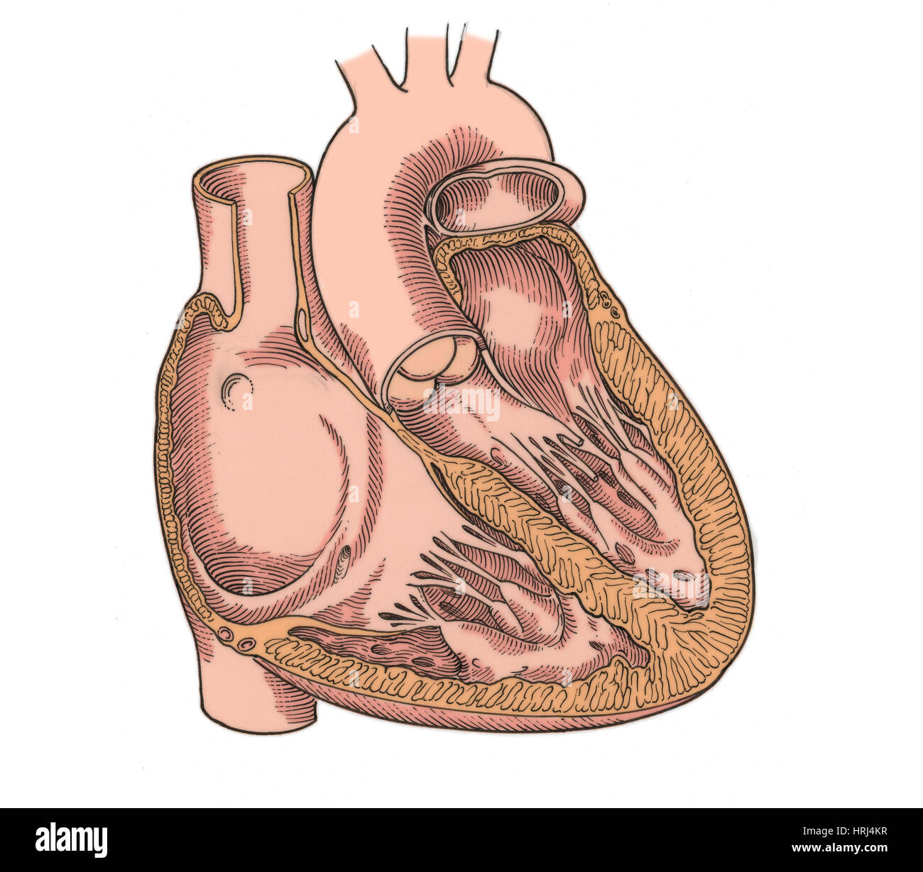 Heart Valve Superior Stockfotos & Heart Valve Superior Bilder - Alamy