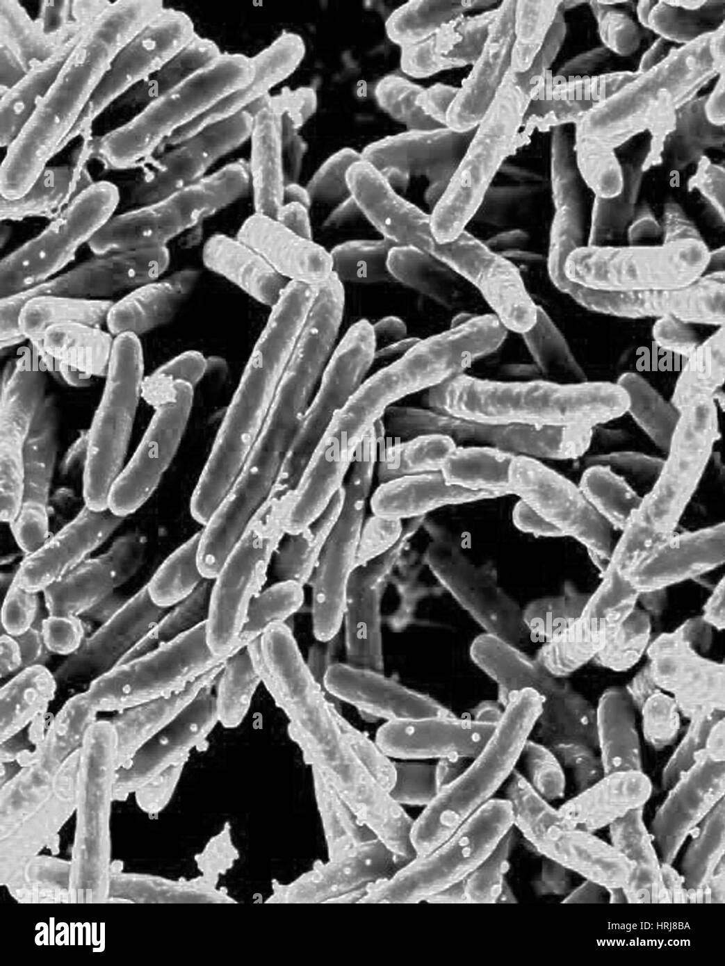 Mycobacterium-Tuberkulose Bakterien, SEM Stockfoto