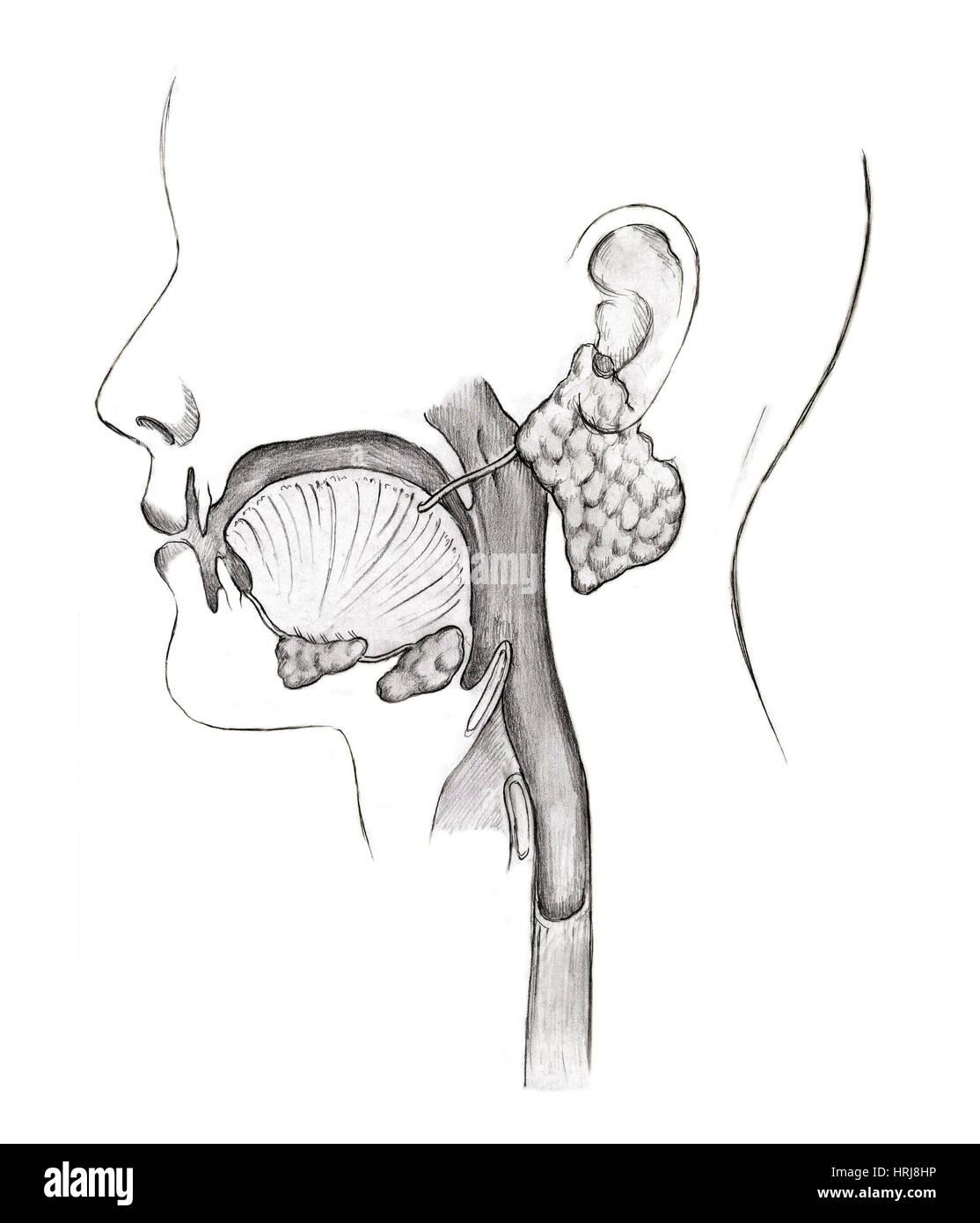 Mouth Anatomy Diagram Stockfotos & Mouth Anatomy Diagram Bilder - Alamy