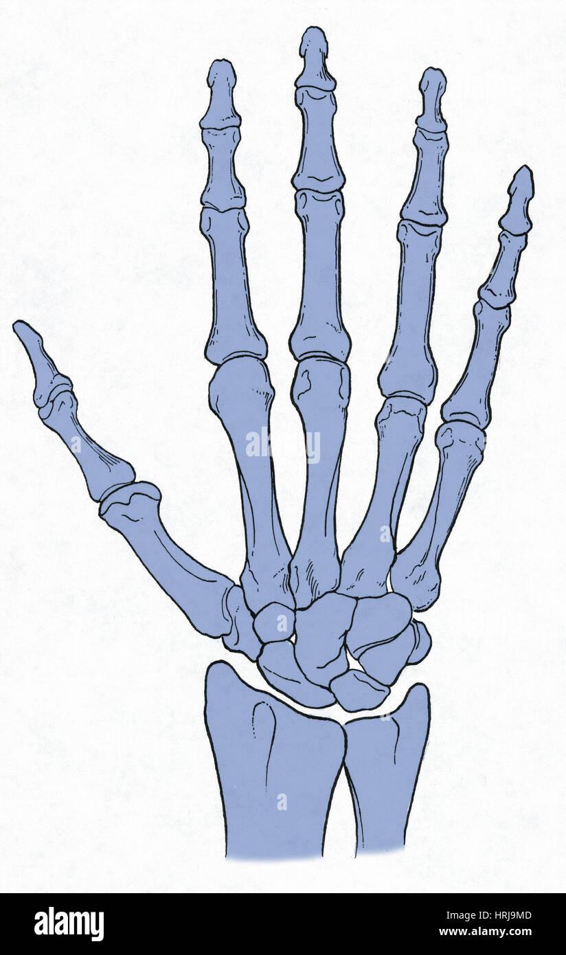 Erfreut Anatomie Der Menschlichen Hand Und Des Handgelenks Galerie ...
