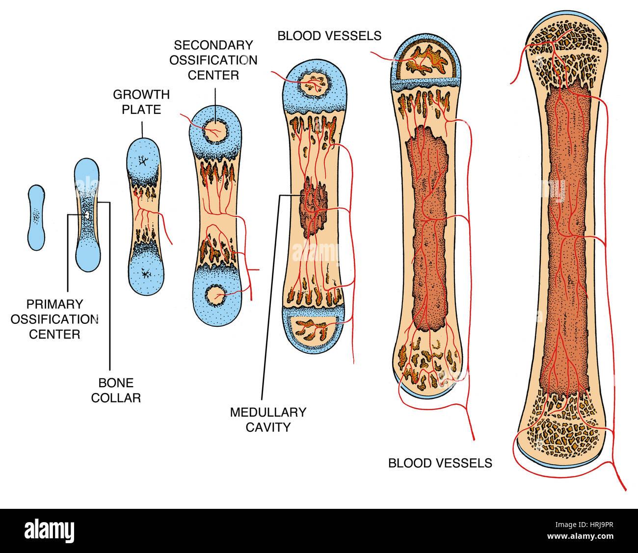 Knochenwachstum Stockfoto Bild 135012495 Alamy