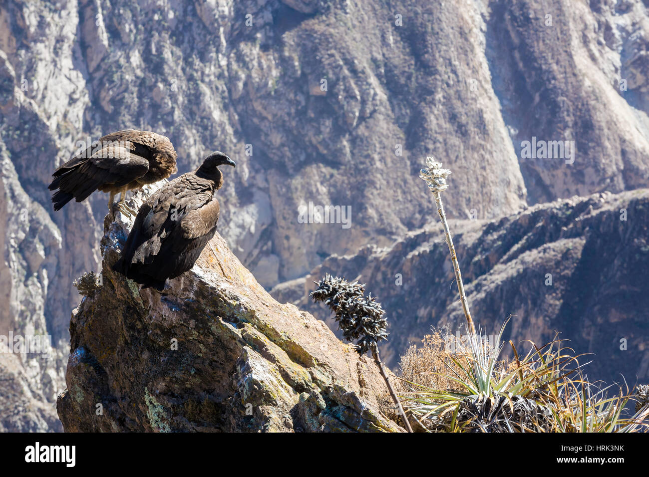 Drei Kondore Im Colca Canyon Sitzen Peru Südamerika Dies Ist Ein