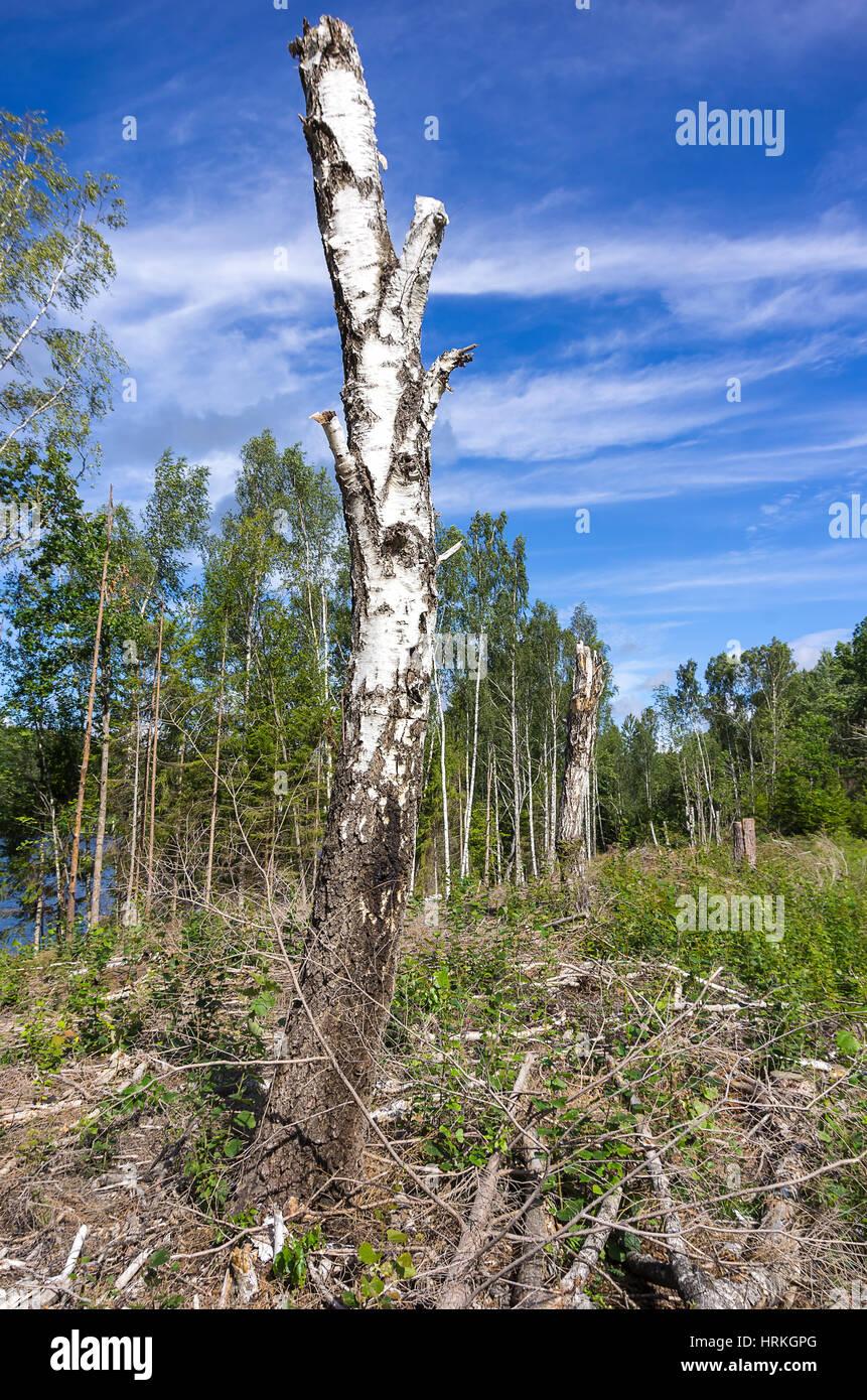 Stehende Birke Stamm in ein Stück gerodeten Wald in Haverud, Dalsland, Schweden. Stockbild