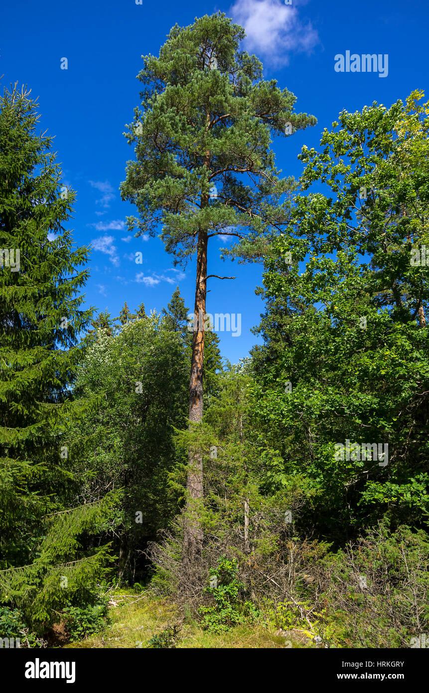 Bewaldeten Platz mit hohen Baum um Haverud, Dalsland, Schweden. Stockbild