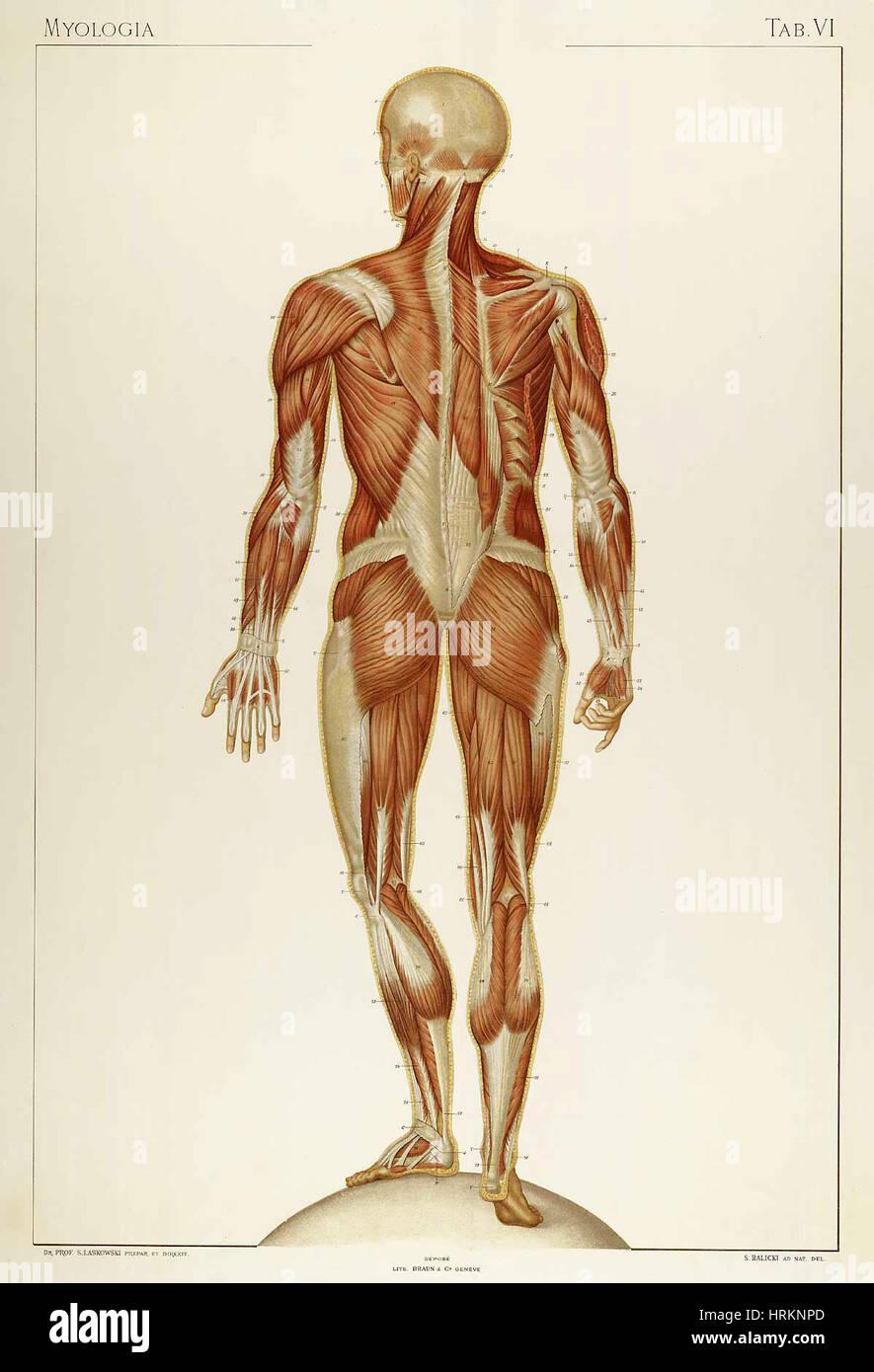 Historische anatomische Abbildung Stockbild