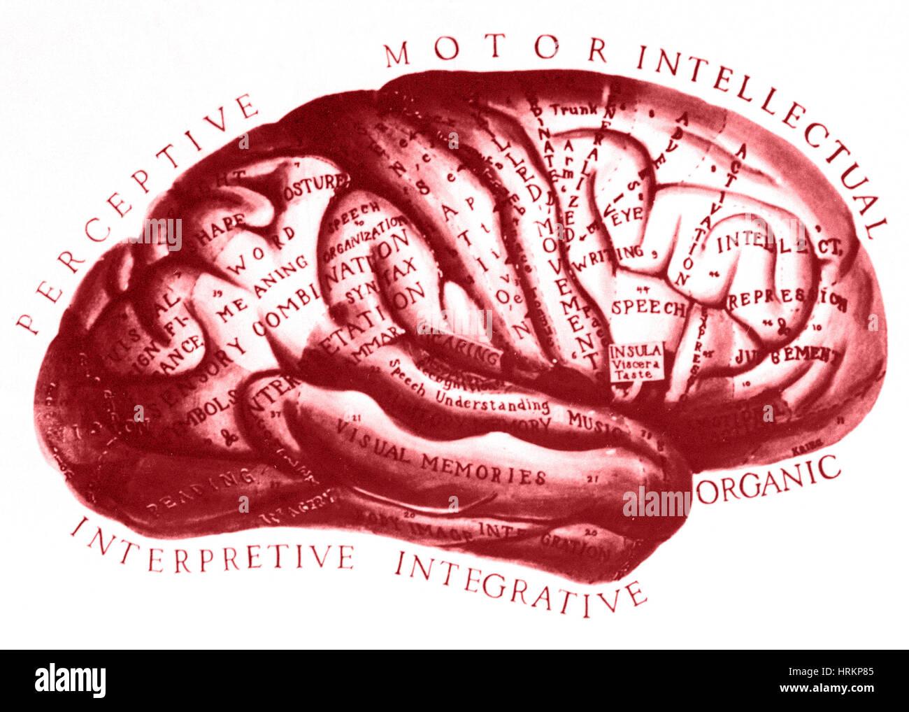 Historische Zeichnung des Gehirns Stockbild