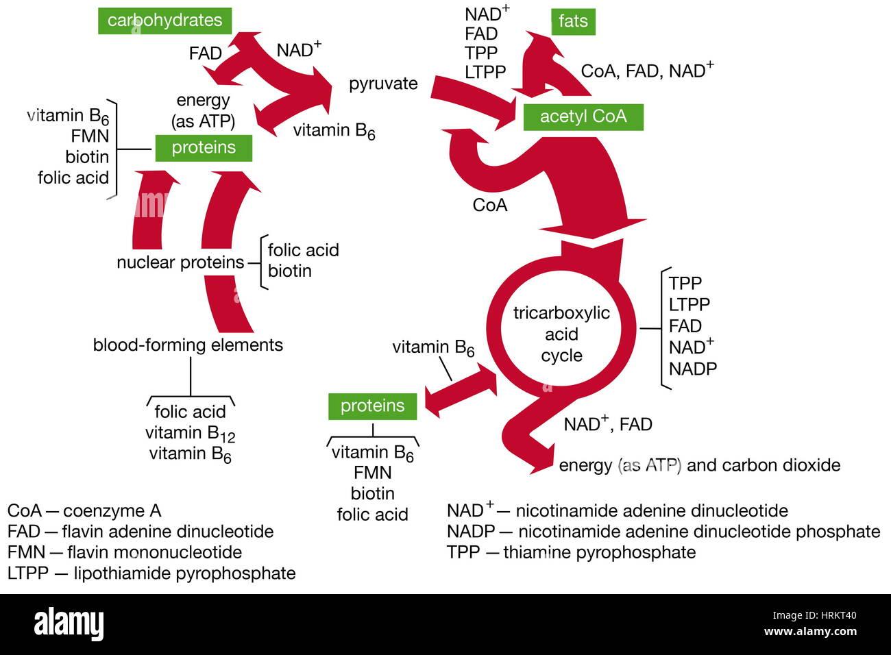 Funktionen der B-Vitamin-Coenzyme im Stoffwechsel. Stockbild