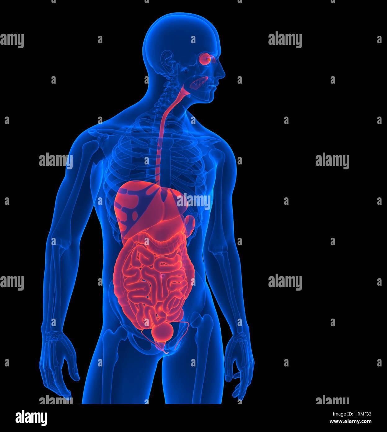 Der menschliche Körper. 3D Rendering der menschlichen Organe ...